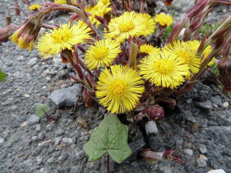 """""""Naturopati alpina:  erbe e antichi rimedi"""""""