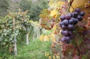 Uva in vigna - Foto L. Giunti