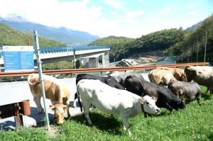 Le mucche nel cantiere