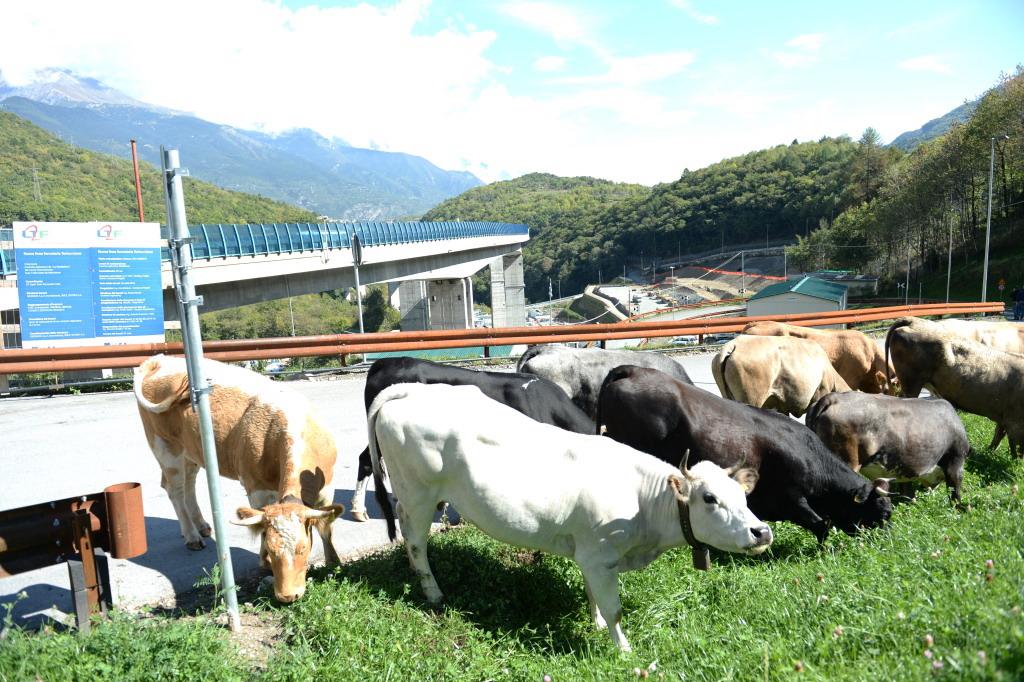 """Le mucche """"invadono"""" il cantiere Tav della Maddalena di Chiomonte"""
