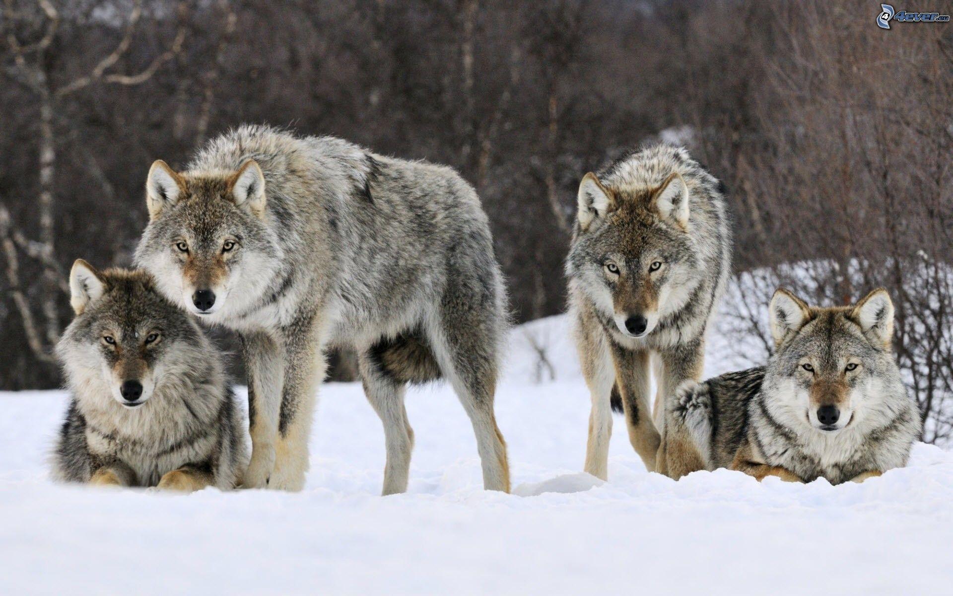 Mattie, i lupi si aggirano alle porte del paese