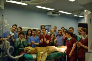 Lo staff medico con il leone Leonardo subito dopo l'operazione