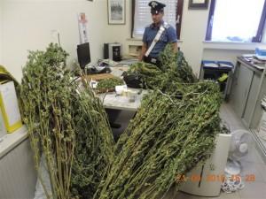 Le piante di marijuana trovate nella casa dell'arrestato a Bussoleno