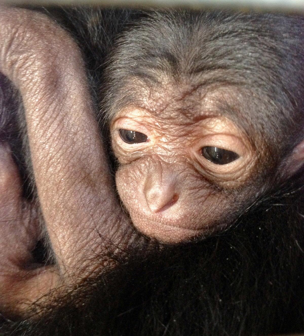 Cumiana, lieto evento al Bioparco ZOOM: è nato un cucciolo di siamango