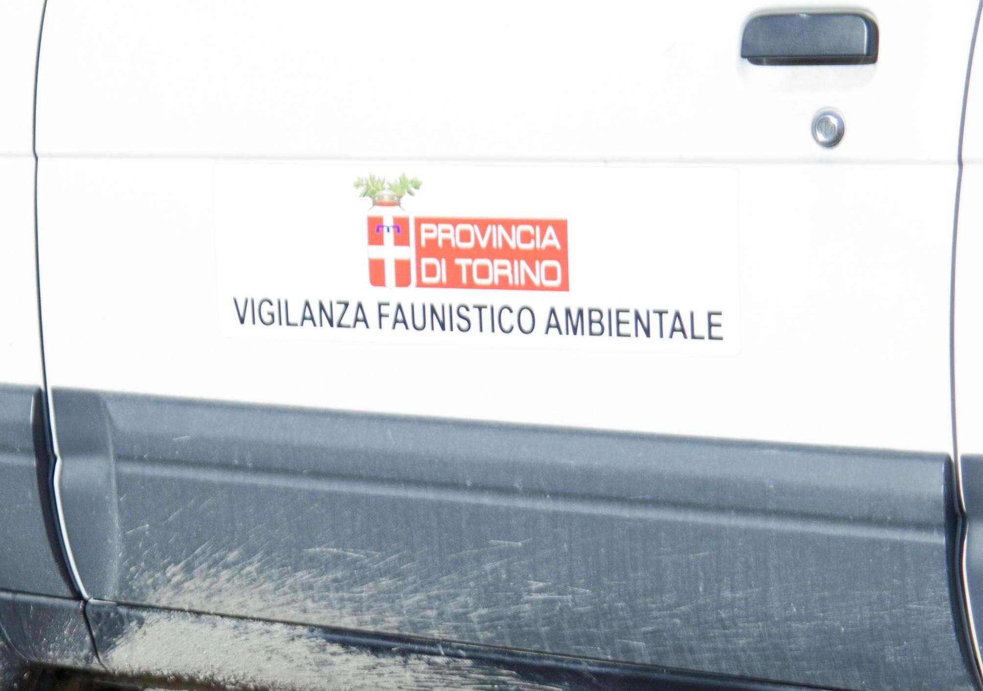 LA CARCASSA DI UN LUPO MORTO RECUPERATASULLA FERROVIA TORINO-MODANE A SALBERTRAND