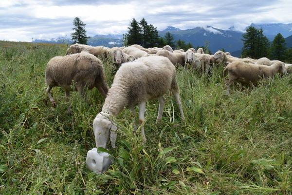 """La Coldiretti: """"Dopo lo stop al Piano lupo bisogna salvare vitelli e greggi"""""""