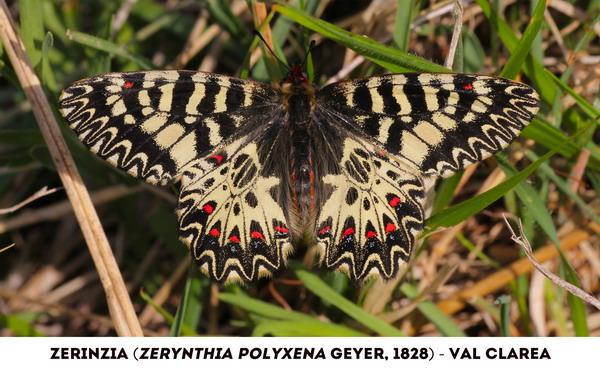 Venaus, La farfalla Zerinzia batte le ali a favore dei No Tav