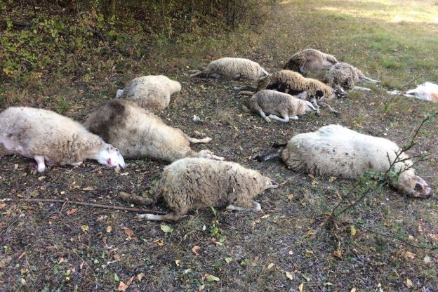 Strage di pecore e capre a Chiomonte