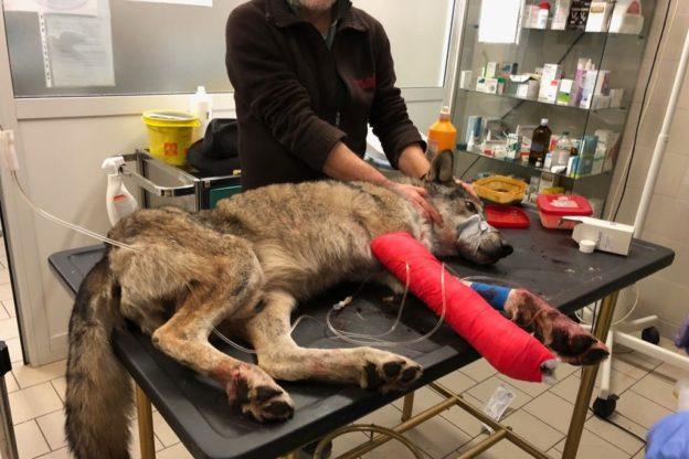 Un lupo ferito a Borgone