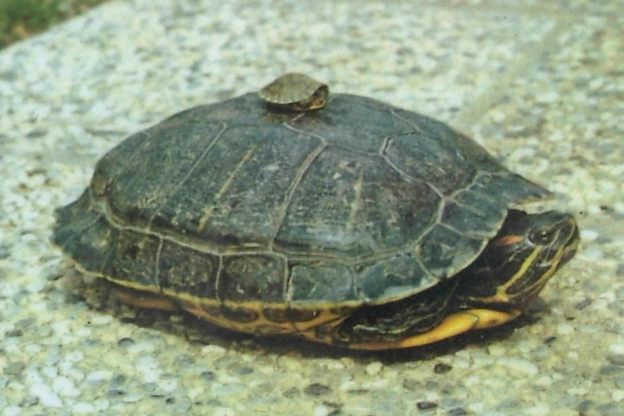 """L'appello del Parco: """"Non abbandonate nei laghi di Avigliana le tartarughe acquatiche"""""""