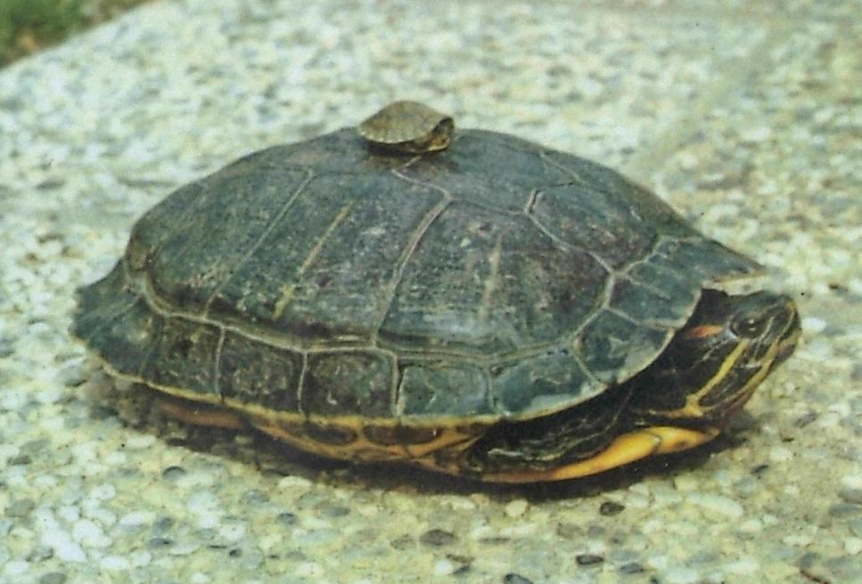 L appello del parco non abbandonate nei laghi di for Lago tartarughe