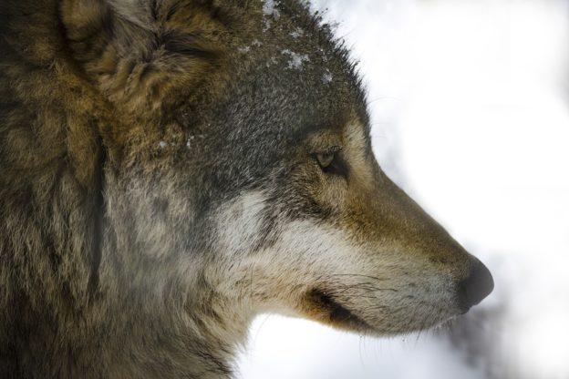 Gravere, lupi vicino alle case