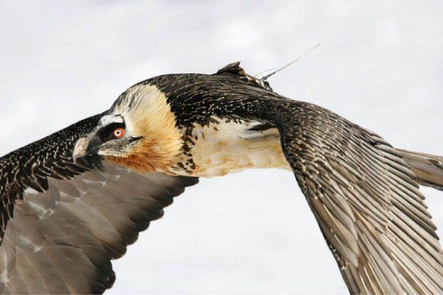 Valsusa: era una femmina l'esemplare di gipeto rinvenuto morto a Novalesa