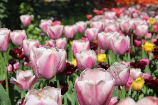 Castello di Pralormo, Messer Tulipano compie 20 anni (e porta 100mila fiori)