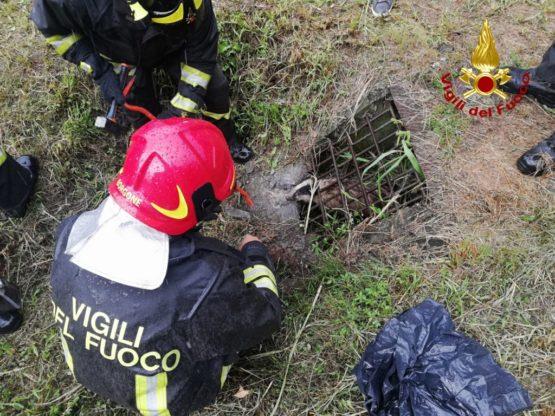 I Vigili del Fuoco di Borgoneestraggono il tasso rimasto incastrato in una griglia di via Rocciamelone, a Sant'Antonino