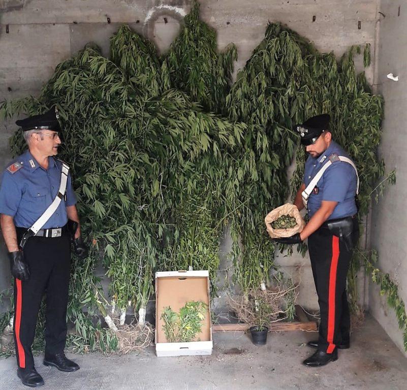Condove, in casa aveva piante di marjuana alte tre metri