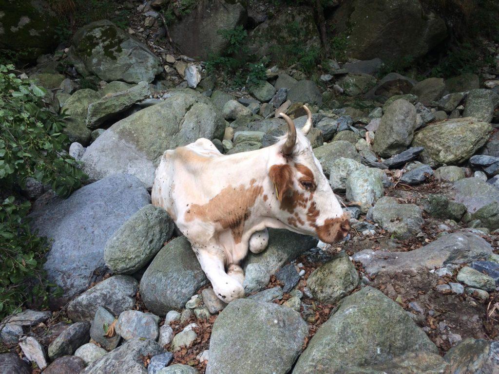 Coazze, i Vigili del Fuoco recuperano una vacca scivolata in una scarpata