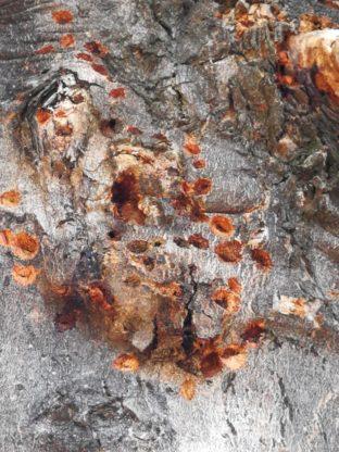 La presenza del tarlo sul fusto di una pianta