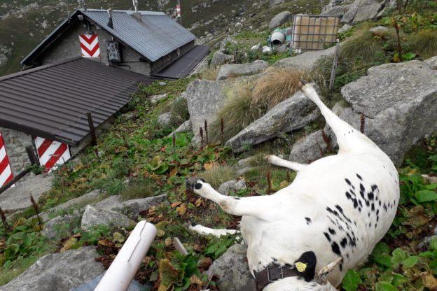 Coazze, vacca muore precipitando nei pressi del rifugio della Balma