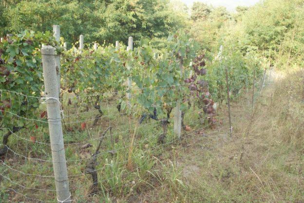 Ladri d'uva in azione in Val di Susa