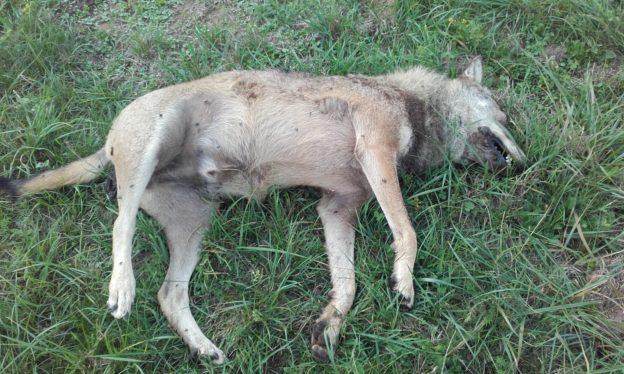 lupo morto ad Avigliana