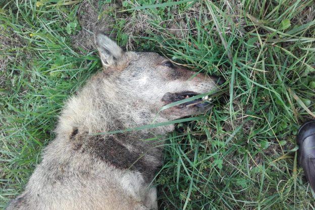 Avigliana, trovato un lupo morto in borgata Girba