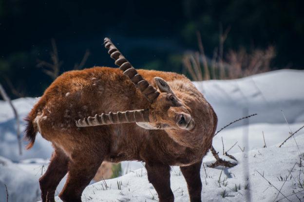 Lo stambecco: dalla quasi estinzione al grande ritorno in Val di Susa