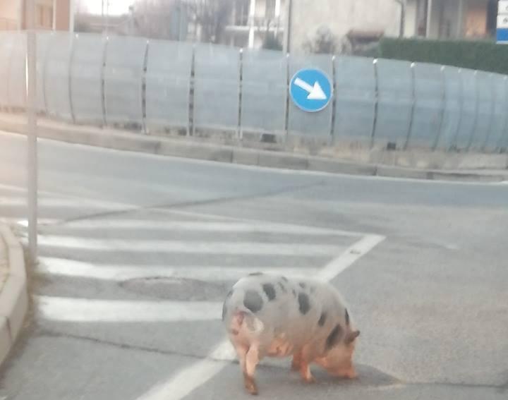 Giaveno, la maialina Ida fugge e va a zonzo per la città