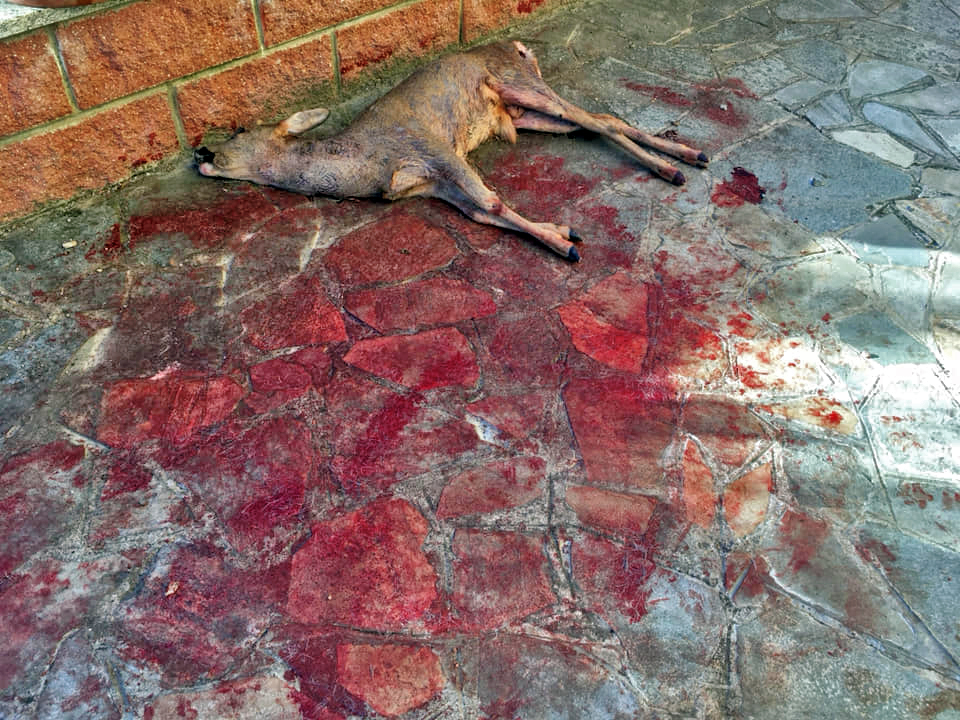 """Ucciso il capriolo che era diventato la """"mascotte"""" di Villar Dora"""