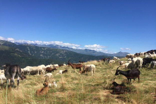Giaveno, svelato il mistero delle capre morte a Pian del Secco