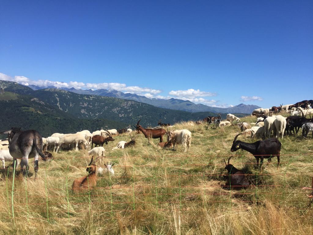 Giaveno, mistero a Pian del Secco: muoiono 57 capre