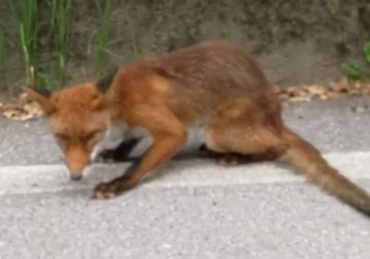 """Trovata una volpe malata a Sangano. Il veterinario: """"Non toccate né volpi né tassi"""""""