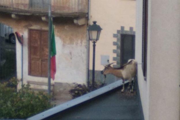 Il mistero della capra tibetana sul tetto del Municipio di Trana