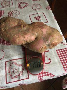 Valsusa, patata da record: 1,717 kg. a Ferrera Cenisio