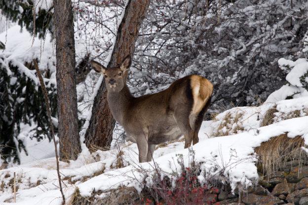Oulx, uccide un cervo. Multa di 2000 euro