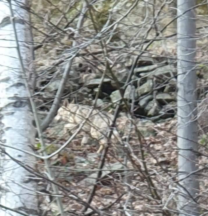 C'è un lupo che si aggira per le strade dell'alta Val Sangone?