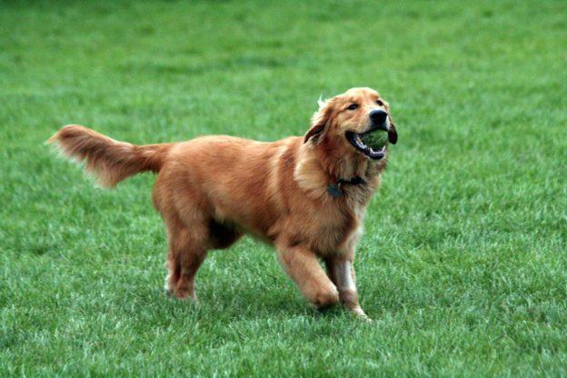 Giaveno, sale il numero di cani avvelenati: un Golden è morto