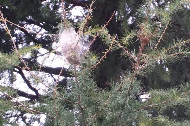 A Coazze tolti molti nidi di processionaria