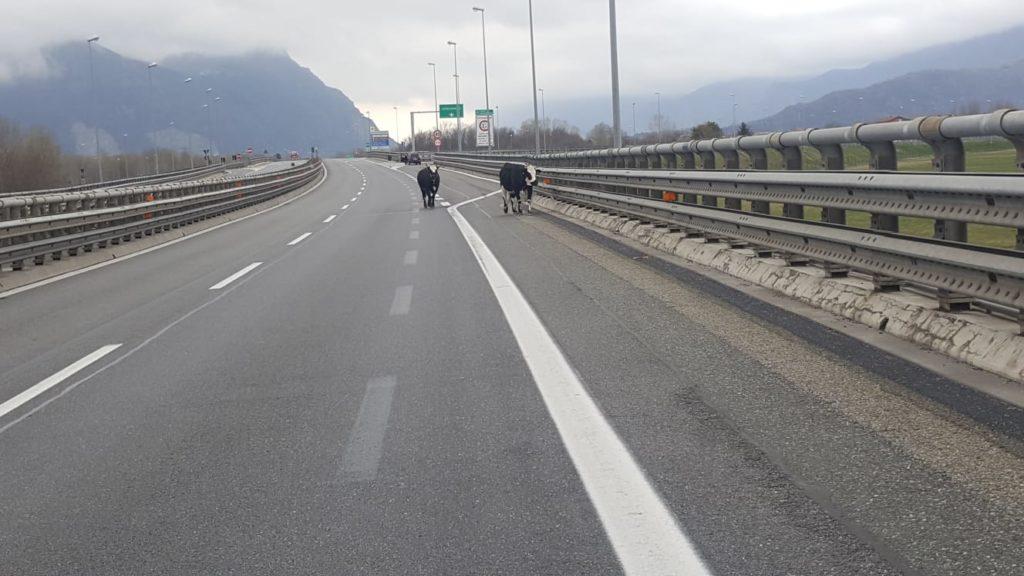Avigliana, mucche sulla A32, interviene la Stradale