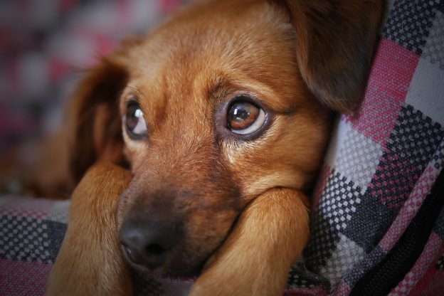 Videoconferenza su salute e comportamento del cane