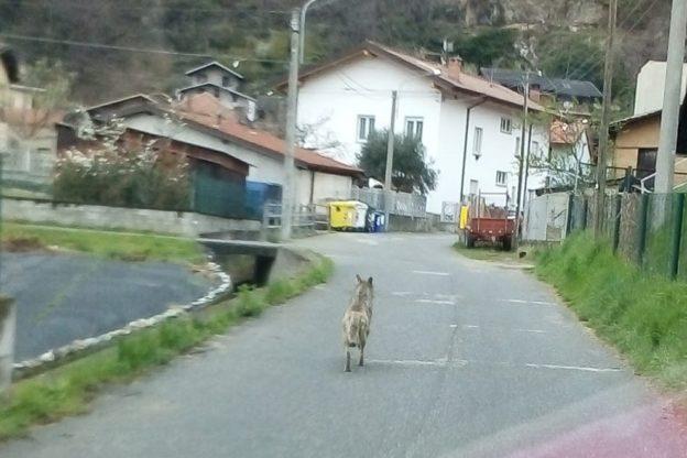 Per le strade silenziose di Venaus questa mattina si aggirava un lupo