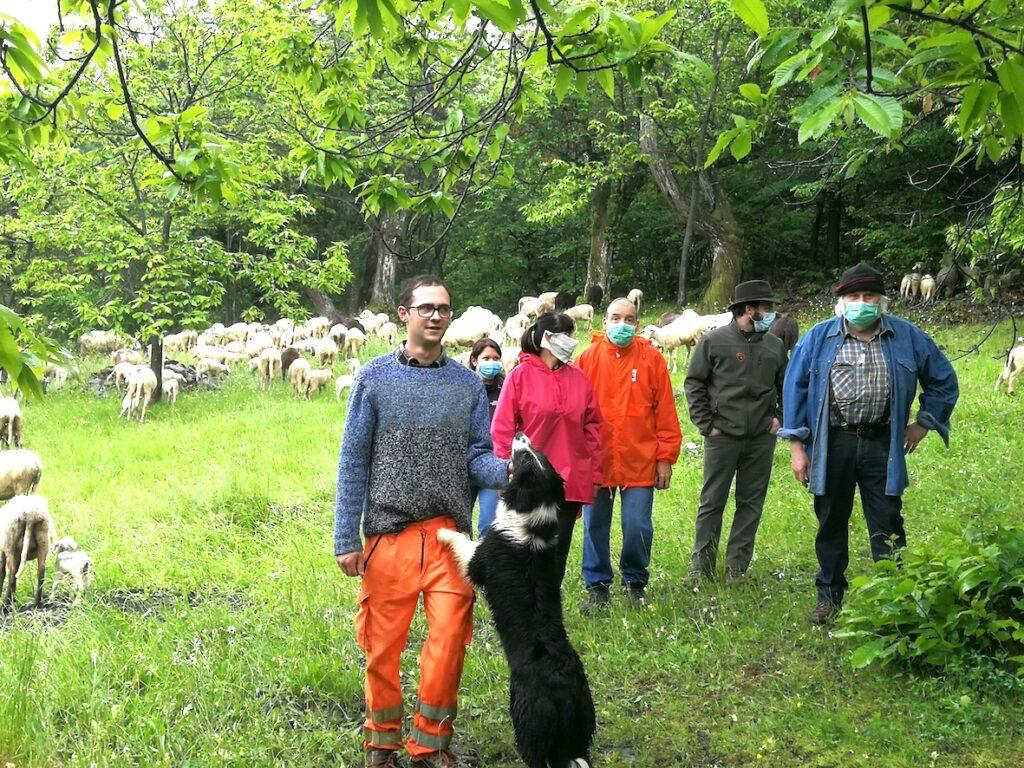 In Val di Susa la pulizia dei castagneti è affidata alle pecore