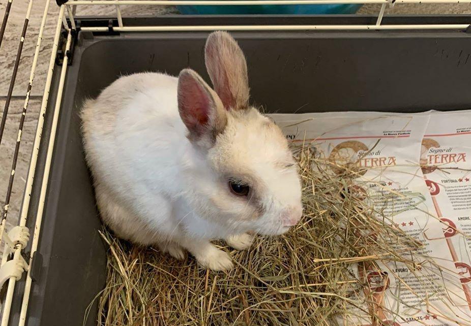 Avigliana, si cerca il proprietario di questo coniglietto