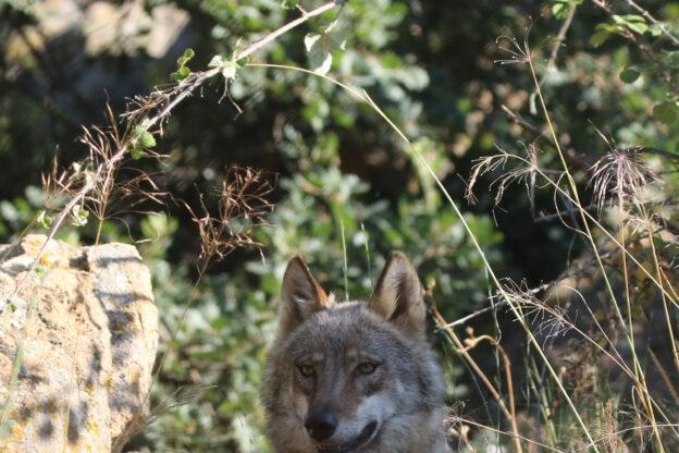 Il lupo: storia di un ritorno in Valsusa