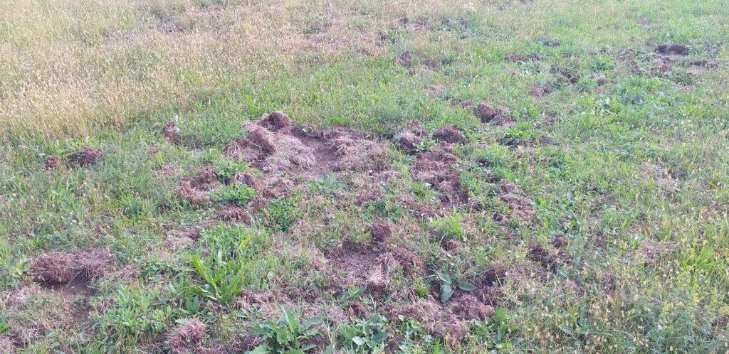 Cinghiali sempre più invadenti anche a Giaveno: molti i campi distrutti