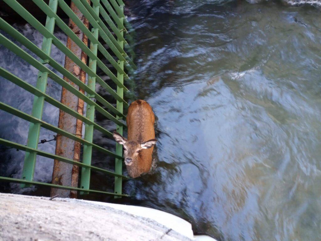 Giovane cervo cade in un canale in alta Val di Susa: salvato