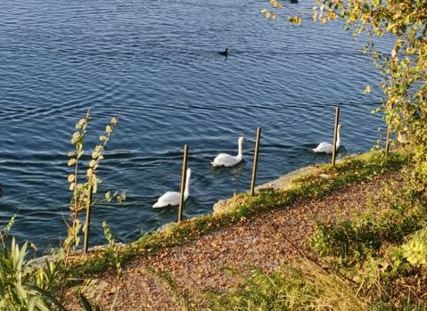 Avigliana, vietato dar da mangiare ai cigni del Lago Grande