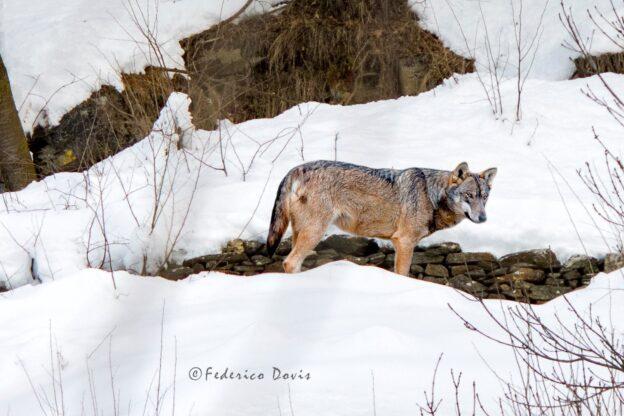 Federico Dovis a tu per tu con il lupo in alta Val Sangone