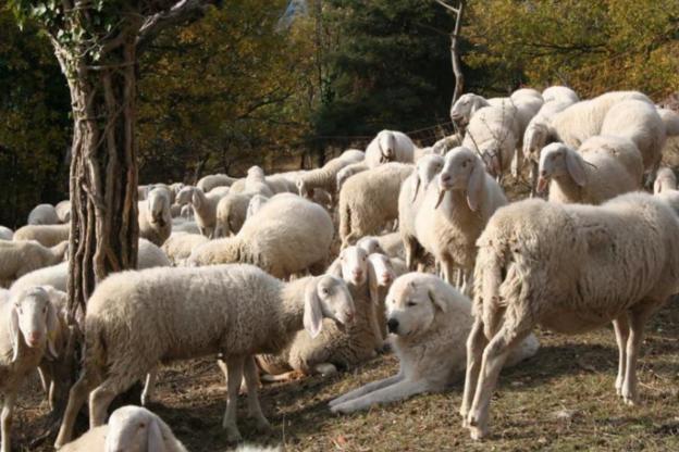 """250 pecore """"arruolate"""" per ridurre il rischio incendi in Val di Susa"""