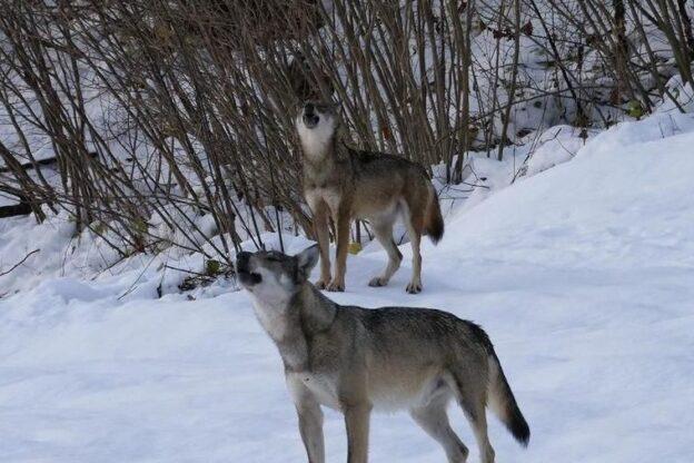 Regione. Agli allevatori 300mila euro per l'indennizzo dei danni causati dai lupi